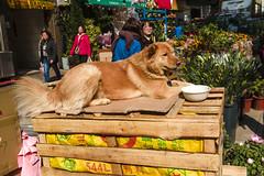 YEAR OF THE DOG (STREETS OF HONG KONG...) Tags: hongkong flower market dog streetsofhongkong hongkongphototours hongkongprivatewalkingtours hongkongwalkingtours