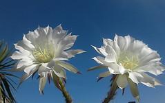 Brevísimas (mnovela2293) Tags: echinopsissubdenudatacactaceas cactusboliviaparaguay tarija endémico sinespinas echinopsis
