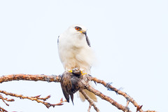 White-tailed Kite was eating Sora? (X81_5362-1) (Eric SF) Tags: whitetailedkite raptor coyotehillsregionalpark fremont california sora