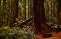 Rest Spot (Dylan H, from the road) Tags: northamerica california lostcoast redwoods forest trees dense density ferns color texture landscape
