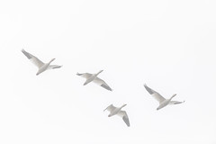 Snow Geese in the Fog (Nature as Art Photography) Tags: birds middlecreek pennsylvania wildlifemanagementarea