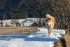 feb-2018 Kochelsee 8 (butchinsky) Tags: akita akitainur bavaria butschinsky copyrightbyhelmutschmid2017 deutschland dog dogs germany helmutschmid hund hündin japanischerakita munich münchen welpe awalkinthepark playingdog