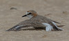 red-capped plover (Charadrius ruficapillus)-0273 (rawshorty) Tags: rawshorty birds nsw australia portmacquarie