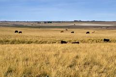 Spread Out Herd (Bracus Triticum) Tags: animal spread out herd アルバータ州 alberta canada カナダ 9月 九月 長月 くがつ kugatsu nagatsuki longmonth 2017 平成29年 fall autumn september