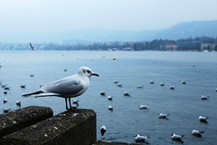 lake (Katrinitsa) Tags: zurich2018 zurich switzerland lake lakeview lakeside birds bird river canon bokeh landscape nature water waterscape colors riverside white blue travel travelphotography europe dream dreamer magic magical awesome amazing calm winter sky macro detail art artistic ef35mmf14lusm canoneos600d painting wings peace