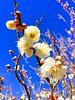 春近し (hamapenguin) Tags: nature flower ume prunusmume japaneseapricot 梅 ウメ