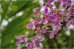 ... orchids ... (miriam ulivi) Tags: miriamulivi nikond7200 indiadelsud kerala cochin kochi kumbalangivillage fiori flowers orchidee orchids bokeh nature
