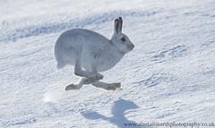 Running Hare (Alastair Marsh Photography) Tags: mountainhare mountainhares mountain mountains hare hares mammal mammals mammalsociety britishwildlife britishanimals britishanimal britishmammals britishmammal scotland scottishwildlife scottishmammals scottishmammal scottishhighlands highlands hills hill run running snow snowing snowfall
