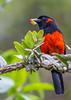 Scarlet-bellied Mountain Tanager (Anisognathus igniventris) (NigelJE) Tags: scarletbelliedmountaintanager mountaintanager tanager anisognathusigniventris anisognathus thraupidae nigelje yanacochareserve yanacocha quito ec ecuador