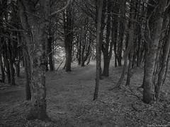 Forest Trail - Oregon (petechar) Tags: petechar charlesrpeterson landscape lanecounty oregon highway101 trees forest panasonicg9 leica1260mm ushighway101 blackandwhite monochrome