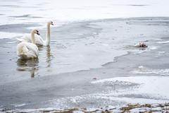 Brüchiges Eis am Dechsendorfer Weiher (Peter Goll thx for +6.000.000 views) Tags: 2018 dechsendorf natur winter erlangen germany dog eis ice lake weiher eisfläche swan schwan hund nikon nikkor d750