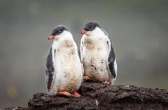 Gentoo chicks (Steven-ch) Tags: gentoopenguin rock mvoceanadventurer penguin canon animal quark fluffy eos7dmarkii aitchoislands 7thcontinent travel dirty bird chick expedition englishstrait wildlife antarctica aq