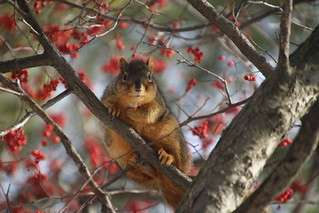 211/365/3498 (January 8, 2018) - Squirrels in Ann Arbor on a Winter's Day at the University of Michigan (January 8th, 2018)