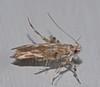 Quil frill antler leg moth Pachyrhabda sp Stathmopodidae Airlie Beach rainforest P1150965 (Steve & Alison1) Tags: antler leg moth airlie beach rainforest quil frill pachyrhabda sp stathmopodidae