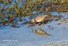 Killdeer with reflection (bananaman33428) Tags: evergladesphotographicsociety birdwatcher killdeer reflection boatramp armloxnwr