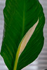 Peace Lily Bud (Vincent Ferguson) Tags: lily peace newyear spathe water spathiphyllum floral liquid flower wildflower teardrop white