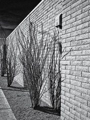 Ocotillo and Wall (keycmndr (aka CyberShutterbug)) Tags: arizona blackandwhite desert hdr people phoenix streetphotography