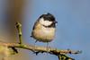 Coal Tit (Linda Martin Photography) Tags: parusater blashfordlakes wildlife nature hampshire coaltit canon5dmarklll uk birds coth alittlebeauty specanimal naturethroughthelens coth5
