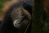 Golden Monkey (JohnathanLe.com) Tags: wildlife africa monkey eyes bamboo wikipedia volcanoesnationalpark rwanda goldenmonkey