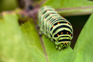 Big Green Caterpillar - _TNY_9738