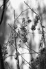 winterglow (courtney065) Tags: nikond800 nature landscapes foliage flora trees branchlets soft artistic blurred depthoffield mono monochrome blackandwhite wetland winter cold abstractlandscapes woodland glow textures diaphanous silken delicate fragile serene serenitynow