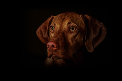 It's cold outside (Neil_Wagner) Tags: vizsla hungarian ripley