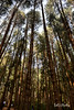 Pine forest Ooty (SarojPadhy) Tags: ooty naturesfinest nature naturebeauty