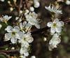Prunus spinosa (Blackthorn) (Hugh Knott) Tags: prunusspinosa blackthorn flora anglesey wales uk rosaceae