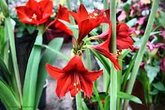 Flowers Are Medicine For The Soul (Amaryllis) (jackfre 2) Tags: belgium wilrijk flowers calla zantedeschia amaryllis antwerp