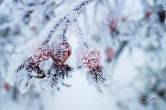 Frosted (Pixi.St) Tags: mora dalarnaslän schweden se sweden ice eis frost rosehip haegbutte winter closeup
