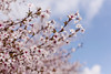 The beautiful of cherry blossom (Hafiz Anwar) Tags: blossoming blossom background japan flower sakura branch tree spring tenderness zen white pink april detail freshness closeup isolated blooming bud soft natural oriental floral march petal blank wide new horizontal tender copyspace someiyoshino bloom gardening title macro season flora cherry young orchard garden close gentle fade nature japanese delicate softness