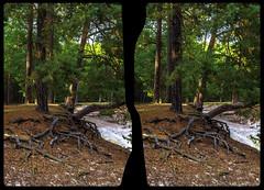 Open roots 3-D / CrossEye / Stereoscopy / HDR / Raw (Stereotron) Tags: sachsenanhalt saxonyanhalt ostfalen harz mountains gebirge ostfalia hardt hart hercynia harzgau blankenburg heers sandhöhlen wurzeln roots tree plants bäume wald forest woods outback backcountry wilderness crosseye crosseyed crossview xview cross eye pair freeview sidebyside sbs kreuzblick 3d 3dphoto 3dstereo 3rddimension spatial stereo stereo3d stereophoto stereophotography stereoscopic stereoscopy stereotron threedimensional stereoview stereophotomaker stereophotograph 3dpicture 3dglasses 3dimage canon eos 550d chacha singlelens kitlens 1855mm tonemapping hdr hdri raw