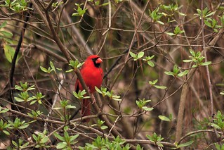 Male cardinal observing