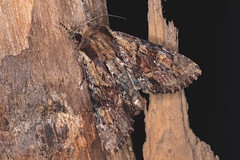 veränderliche Graßbüscheleule (planetvielfalt) Tags: auenwald lepidoptera noctuidae xyleninae schkeuditz sachsen deutschland