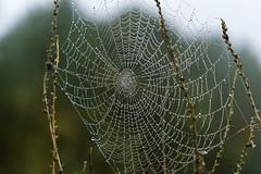 Gotas de rocío. (JuanCarlossony) Tags: agua rocío gotas plantas niebla araña spiderweb spider dew sony 50mm slta58