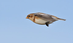 Snow Bunting (KHR Images) Tags: snowbunting snow bunting plectrophenaxnivalis buntings salthouse norfolk coast winter migrant wild bird wildlife nature flying inflight nikon d500 kevinrobson khrimages