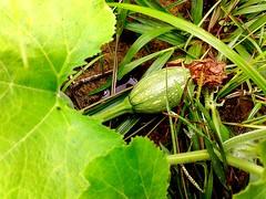 BUAH LABU  #photography #nature #freshfruit (kieferjooksalt) Tags: freshfruit nature photography