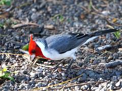 Hawaiian cardinal (Frank G Cornish) Tags: bird card hawaii oahu redhead
