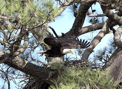 Eagle taking flight from its nest (adirondack_native) Tags: eagle flying nest symbol white brown