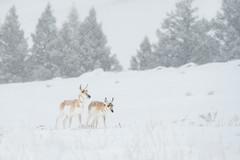 A Hard Life (Amy Hudechek Photography) Tags: pronghorn wildlife storm wyoming wyomingwildlife nature winter january amyhudechek nikond500 nikon200500f56 hardlife2