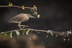 Indian Pond Heron | Ardeola grayii | अंधा बगुला (Paul B Jones) Tags: india indianpondheron ardeolagrayii अंधाबगुला girnationalpark gujarat nature wildlife canoneos1dxmarkii ef500mmf4lisiiusm paddybird asia asian tourist tourism travel ecotourism indian indiya inde indien indië branch balancing pondbird safari