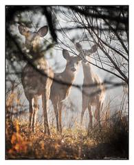 Morning Fog - Saying Hello (GAPHIKER) Tags: deer wildlife sun fog branches bokeh texture lenabemanna happyslidersunday hss