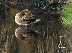P1140676m (Guesscl) Tags: canards parc plumes végétation verdure eau oiseaux bec