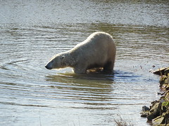 Pixel wading (LadyRaptor) Tags: yorkshirewildlifepark yorkshire wildlife park doncaster ywp nature outdoors winter sun sunny rocks water lake pool wade wading swim swimming ripples reflection relaxed happy content cute animal animals predator carnivore caniformia ursidae polarbear polarbears male polar bear bears ursusmaritimus projectpolar pixel