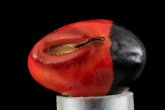 Black and Red Seed (no velum)_2014-04-09-16.21 (Sam Droege) Tags: seed seeds plant bureauofbiologicalsurvey usgs beeinventorylab droege stacking photostacking red redandblack blackbackground