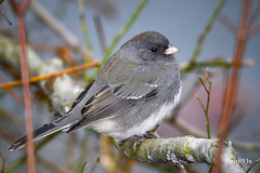 Dark-eyed Junco (jt893x) Tags: 150600mm bird d500 darkeyedjunco jt893x junco juncohyemalis nikon nikond500 sigma sigma150600mmf563dgoshsms sparrow alittlebeauty coth thesunshinegroup coth5 sunrays5