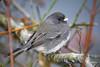 Dark-eyed Junco (jt893x) Tags: 150600mm bird d500 darkeyedjunco jt893x junco juncohyemalis nikon nikond500 sigma sigma150600mmf563dgoshsms sparrow alittlebeauty coth thesunshinegroup coth5 sunrays5