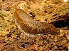 Roundback Slug (treegrow) Tags: rockcreekpark washingtondc nature lifeonearth raynoxdcr250 arion taxonomy:genus=arion mollusca mollusk gastropoda arionidae