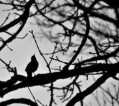 The  exhibitionist. (alex.vangroningen) Tags: bird outdoors blackandwhite tree branches nikond7000 nikon70300mmvr