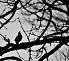 The  exhibitionist. (alex.vangroningen) Tags: bird outdoors blackandwhite tree branches nikond7000 nikon70300mmvr